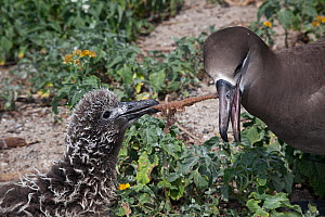 Black-footed albatross (Phoebastria nigripes) attempting to feed chick marine debris, a monofilament fishing line coated with fish eggs. Sand Island, Midway Atoll National Wildlife Refuge, Papahanaumo...  -  Doug Perrine