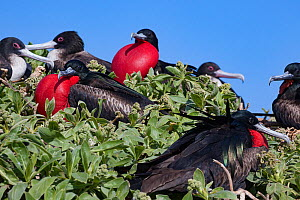 Great frigatebird (Fregata minor palmerstoni) colony, males in courtship display with inflated red throat pouches. Eastern Island, Midway Atoll National Wildlife Refuge, Papahanaumokuakea Marine Natio...  -  Doug Perrine