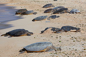 Hawaiian green sea turtle (Chelonia mydas) group basking on beach with plastic bottle litter. Turtle Beach, Sand Island, Midway Atoll National Wildlife Refuge, Papahanaumokuakea Marine National Monume...  -  Doug Perrine