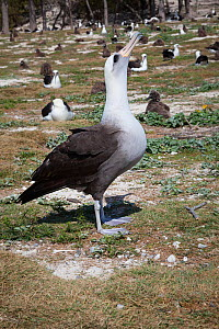 Hybrid Laysan albatross x Blackfooted albatross (Phoebastria immutabilis x nigripes) sky-pointing while courting Laysan albatross, within breeding colony. Sand Island, Midway Atoll National Wildlife R...  -  Doug Perrine