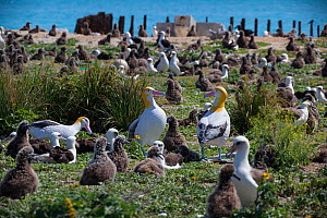 Short-tailed albatross (Phoebastria albatrus) decoys surrounded by nesting Laysan albatross (Phoebastria immutabilis) and chicks. Decoys aim to attract mature Critically Endangered Short-tailed albatr...  -  Doug Perrine