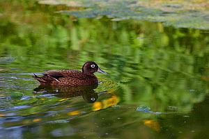 Laysan duck (Anas laysanensis) male swimming. Critically Endangered, the world's rarest duck. Eastern Island, Midway Atoll National Wildlife Refuge, Papahanaumokuakea Marine National Monument, Nor...  -  Doug Perrine