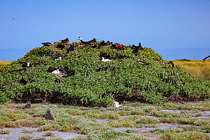 Great frigatebird (Fregata minor palmerstoni) nesting and displaying in tree alongside nesting Red-footed booby (Sula sula). Laysan albatross (Phoebastria immutabilis) chicks in foreground. Eastern Is...  -  Doug Perrine