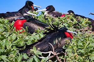Great frigatebird (Fregata minor palmerstoni) group perched in vegetation, males in courtship display with inflated red throat pouch. Eastern Island, Midway Atoll National Wildlife Refuge, Papahanaumo...  -  Doug Perrine