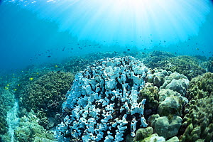 Coral reef with Hard coral (Porites sp), bleached due to high water temperatures during El Nino event. Fish swimming above reef. Kamakahonu, Kailua Bay, Kona, Hawaii, USA. December 2015.  -  Doug Perrine