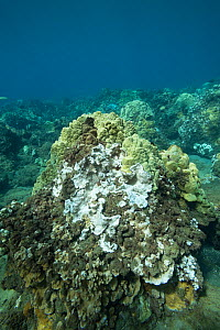 Coral head with bleached Rice coral (Montipora capitata), patches of dead coral covered by algae and healthy Lobe coral (Porites lobata). During period of unusually high seawater temperatures. Wahikul...  -  Doug Perrine