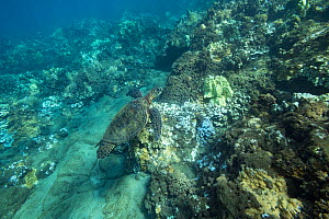 Green sea turtle (Chelonia mydas) swimming over coral reef with bleached coral, healthy coral and dead coral covered with dark algae. During marine heat wave. Wahikuli, West Maui, Hawaii, USA. October...  -  Doug Perrine