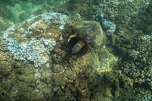 Green sea turtle (Chelonia mydas) feeding on algae growing on dead coral. Rice coral (Montipora capitata) heads bleached white by high water temperatures during marine heat wave. Honokeana Cove, Napil...  -  Doug Perrine