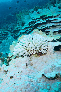 Bleached coral reef with dead Cauliflower coral (Pocillopora grandis) in middle of large Plate and pillar coral (Porites rus). Bleached by high ocean temperatures during El Nino event. Honaunau Bay, K...  -  Doug Perrine