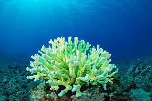 Antler coral (Pocillopora grandis) showing bleaching with pastel green fluorescence. This is believed to result from pigments produced by coral acting as sunscreen in an attempt to survive bleaching....  -  Doug Perrine
