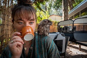 Wildlife rescuer and carer drinking cup of coffee with rescued Tawny frogmouth (Podargus strigoides) chick sitting on her shoulder, others in cage in background. Pearl Beach, New South Wales, Australi...  -  Doug Gimesy