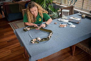 Wildlife rescuer and carer changing dressing on rescued Diamond python (Morelia spilota) with multiple bite wounds believed to be the result of a rabbit protecting her kits after the python went down...  -  Doug Gimesy