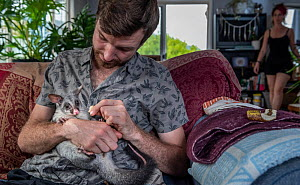 Wildlife rescuer and carer holding orphaned Brushtail possum (Trichosurus vulpecula) joey whilst sitting on sofa in his living room. Woy Woy Bay, New South Wales, Australia. December 2019. Model relea...  -  Doug Gimesy