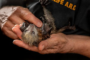 Grey-headed flying-fox (Pteropus poliocephalus), rescued bat held in hands of wildlife rescuer and carer. Matcham, New South Wales, Australia. December 2019. Model released. Editorial use only.  -  Doug Gimesy