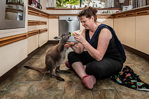 Wallaroo (Macropus robustus), orphaned male joey aged 4-5 months bottle fed by wildlife rescuer and carer in kitchen. Joey was thrown out of pouch in road traffic accident, mum fatally injured. Somers...  -  Doug Gimesy
