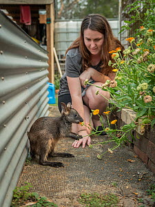 Wildlife carer watching rescued Swamp wallaby (Wallabia bicolor) feeding on flowers. Somersby, New South Wales, Australia. December 2020. Model released. Editorial use only.  -  Doug Gimesy
