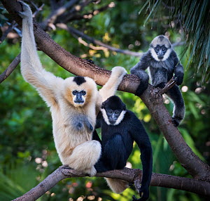 White-cheeked gibbon (Nomascus leucogenys) female and two offspring, a male and female, sitting in tree. White-cheeked gibbons are sexually dimorphic with females having golden fur. Babies are born go...  -  Doug Gimesy