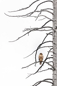 Red-tailed hawk (Buteo jamaicensis) perched on branches of tree during light snowfall. Yellowstone National Park, Wyoming, USA.? October.  -  Doug Gimesy