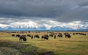 Bison (Bison bison) herd grazing on plain, snow and cloud covered mountains in background. Grand Tetons area, Wyoming, USA.? September 2019.  -  Doug Gimesy