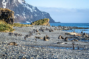 King penguin (Aptenodytes patagonicus), several walking on rocky beach amongst resting Antarctic fur seal (Arctocephalus gazella). Whistle Cove, Fortuna Bay, South Georgia. November 2018.  -  Doug Gimesy
