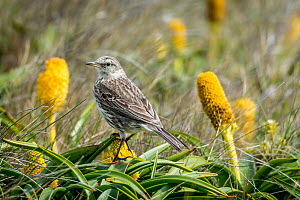 Auckland Island pipit (Anthus novaeseelandiae) perched amongst flowers. Enderby island, Auckland Islands, New Zealand. December.  -  Doug Gimesy