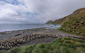 King penguin (Aptenodytes patagonicus) and Royal penguin (Eudyptes schlegeli) colonies alongside Southern elephant seal (Mirounga leonina). On beach, at mouth of small stream, Sandy Bay, Macquarie Isl...  -  Doug Gimesy