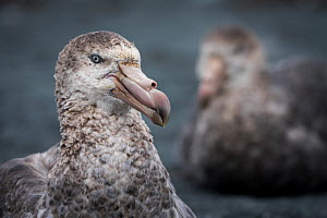 Northern giant petrel (Macronectes halli) portrait, another in background. Buckles Bay, Macquarie Island, Sub-Antarctic Australia. December.  -  Doug Gimesy