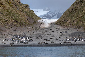 Antarctic fur seal (Arctocephalus gazella) and King penguin (Aptenodytes patagonicus) colonies on beach, receding glacier in background. Right Whale Bay, South Georgia. November 2018.  -  Doug Gimesy
