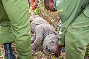 Black rhino (Diceros bicornis) calf orphaned by poaching, being rescued by Kenya Wildlife Service and Solio Ranch staff to be raised at David Sheldrick Wildlife Trust Orphanage, Nairobi. Solio Game Re...  -  Tui De Roy