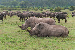Two White rhinoceroses (Ceratotherium simum) resting with African buffalo (Syncerus caffer) herd in the background, Solio Game Reserve, Laikipia, Kenya. September.  -  Tui De Roy