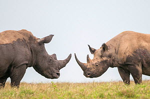 Black rhino (Diceros bicornis) and White Rhino (Ceratotherium simum) bulls facing off. Solio Game Reserve, Laikipia, Kenya. September.  -  Tui De Roy