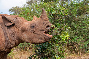 Black rhino (Diceros bicornis) orphan aged 18 months grazing on leaves from a bush, David Sheldrick Wildlife Trust Orphanage, Nairobi, Kenya. October.  -  Tui De Roy