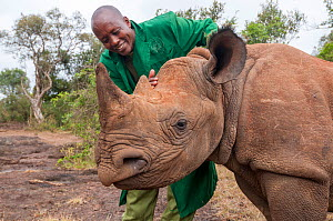 Black rhino (Diceros bicornis) orphan aged 18 months being petted by a keeper, David Sheldrick Wildlife Trust Orphanage, Nairobi, Kenya. October.  -  Tui De Roy