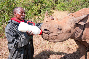 Black rhino (Diceros bicornis) orphan aged 18 months being bottle-fed by a keeper, David Sheldrick Wildlife Trust Orphanage, Nairobi, Kenya. October.  -  Tui De Roy