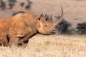 Black rhino (Diceros bicornis) with very long horn, Lewa Wildlife Conservancy, Laikipia, Kenya. October.  -  Tui De Roy
