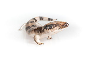 Western blue-tongued skink (Tiliqua occipitalis) on white background. Captive, rescued from illegal wildlife trade by The Department of Environment Land, Water and Planning during Operation Sheffield....  -  Doug Gimesy