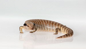 Centralian blue-tongued skink (Tiliqua multifasciata) on white background. Captive, rescued from illegal wildlife trade by The Department of Environment Land, Water and Planning during Operation Sheff...  -  Doug Gimesy