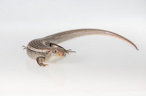 Major skink (Bellatorias frerei) on white background. Captive, rescued from illegal wildlife trade by The Department of Environment Land, Water and Planning during Operation Sheffield. Knoxfield, Melb...  -  Doug Gimesy