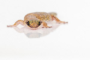 Marbled velvet gecko (Oedura marmorata) on white background. Captive, rescued from illegal wildlife trade by The Department of Environment Land, Water and Planning during Operation Sheffield. Knoxfiel...  -  Doug Gimesy