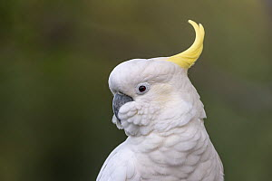 Sulphur-crested cockatoo (Cacatua galerita) portrait. ?Skenes Creek, Victoria, Australia. March.  -  Doug Gimesy