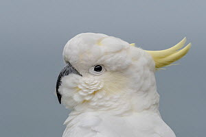 Sulphur-crested cockatoo (Cacatua galerita) portrait. Skenes Creek, Victoria, Australia. March.  -  Doug Gimesy