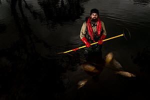 Freshwater ecologist with electrofishing gear in Glenelg River. Dead Carp (Cyprinus carpio) in water, an invasive species that was stunned, caught and killed earlier in day. Victoria, Australia. Octob...  -  Doug Gimesy
