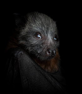 Grey-headed flying-fox (Pteropus poliocephalus) female pup, portrait. Orphaned pup, photo under controlled conditions. Black Rock Animal Shelter, Beaumaris, Melbourne, Victoria, Australia. November. D...  -  Doug Gimesy
