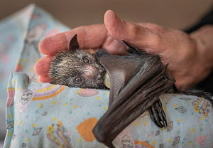 Grey-headed flying-fox (Pteropus poliocephalus), orphaned female pup sucking on a dummy, cradled on 'mamma roll' and in hand of wildlife carer. Black Rock Animal Shelter, Beaumaris, Melbourne, Vic...  -  Doug Gimesy