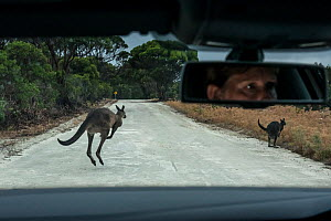 Kangaroo Island kangaroo (Macropus fuliginosus fuliginosus), two jumping on road in front of car, driver visible in rear view mirror. Car was travelling slowly and driver able to brake to avoid collis...  -  Doug Gimesy