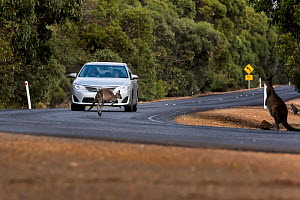 Kangaroo Island kangaroo (Macropus fuliginosus fuliginosus) jumping in front of car rounding bend, a near miss as car travelling relatively slowly, compared to recommended speed limit. Kangaroo Island...  -  Doug Gimesy
