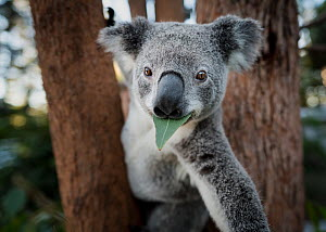 Koala (Phascolarctos cinereus), rescued joey eating gum leaf whilst in tree, reaching out arm. Temporarily captive. Return to the Wild rescue centre, Carbalah, Queensland, Australia. April.  -  Doug Gimesy
