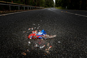 Crimson rosella (Platycercus elegans) dead on road surrounded by feathers, result of vehicle strike. Cape Otway, Victoria, Australia. January 2018.  -  Doug Gimesy
