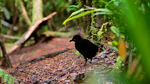 Male Lawes' parotia bird of paradise (Parotia lawesii) cleaning its display ground in a rainforest, Papua New Guinea.  -  Konrad Wothe
