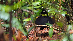 Male Lawes' parotia bird of paradise (Parotia lawesii) displaying in a rainforest, Papua New Guinea.  -  Konrad Wothe